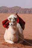 White Camel - Jordon Royalty Free Stock Photos