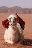 White Camel - Jordon Royalty Free Stock Photos