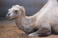 White Camel lying on sand Royalty Free Stock Photography