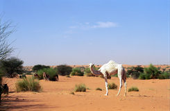 White camel, Mauritania Stock Photography