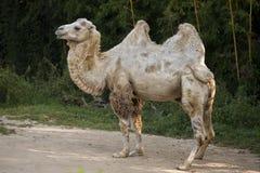 White camel portrait Royalty Free Stock Photo