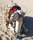 White camel resting in the sand in the desert Royalty Free Stock Photos