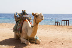 White camel sits Stock Photo
