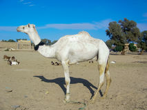 White camel in Tamanrasset, Algeria Stock Photo