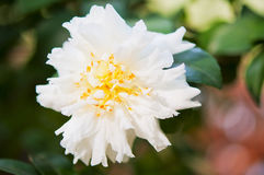 White Camellia Stock Photography