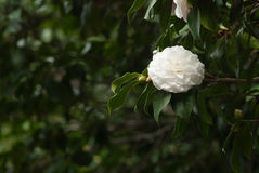 White camellia Royalty Free Stock Image