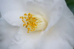 White Camellia Anthers. White Camellia flower petals, yellow anthers Royalty Free Stock Images
