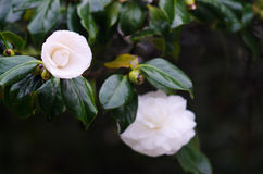 White camellia royalty free stock photography
