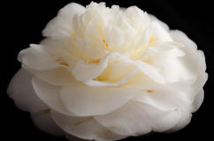 White Camellia Stock Photo