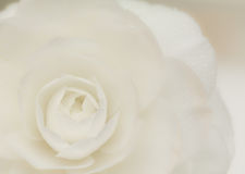 White camellia blossom Royalty Free Stock Photography