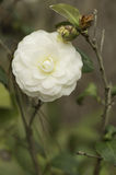 White Camellia Close Up. Close up of a white camellia flower and bud Stock Photo