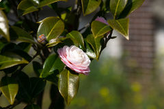 White camellia flower. With green leaves in Ulsan park stock images
