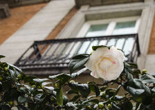 White camellia flower Royalty Free Stock Photography