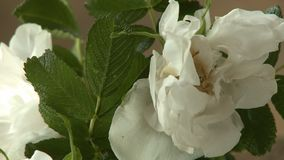 White Camellia Flower. Steady, close up shot of a white camellia flower stock footage