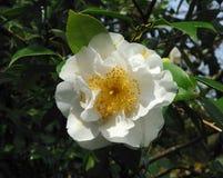 White camellia Stock Image