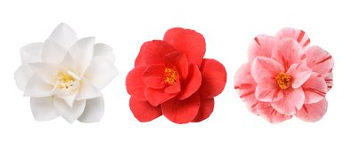 White Camellia Flower. Isolated on White Background royalty free stock photo