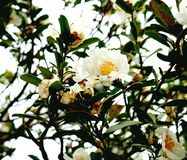 White Camellia flowers on tree. White Camellia flowers Theaceae on tree in the wild in Hong Kong China Stock Images