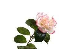 White camellia Stock Photography