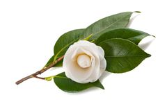 White camellia. Isolated on white Royalty Free Stock Photos