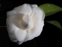 White Camellia japonica with fully opened flower Royalty Free Stock Images