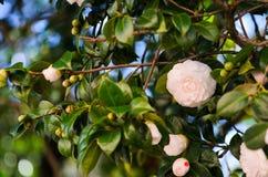 White camellia. In the tree Royalty Free Stock Photos