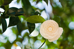 White camellia Royalty Free Stock Images