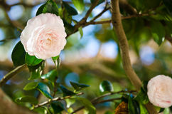 White camellia stock images