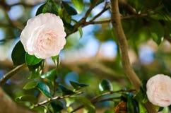 White camellia Stock Images