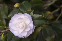 White camellia Royalty Free Stock Image