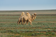 White camels. Camels at the steppe in Kazakhstan Royalty Free Stock Photos