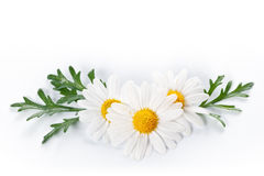 White camomile Royalty Free Stock Photo
