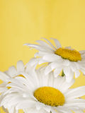 White camomile Stock Images