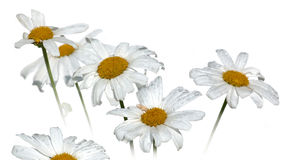 White camomile. Isolated on white Royalty Free Stock Photography