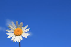 white camomile on blue sky Royalty Free Stock Photo