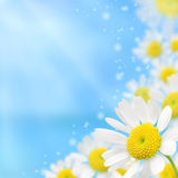 White camomile floral frame on a blue background Royalty Free Stock Images