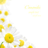 White camomile floral frame on a white background Stock Photography