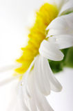 White camomile flower close-up Royalty Free Stock Photos