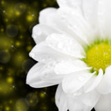 White camomile flower on a dark background Stock Photo
