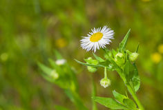 White camomile flower in wild field Stock Photo