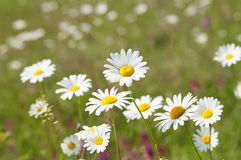 white camomile flowers Stock Photos