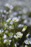 White camomile flowers on meadow Stock Image