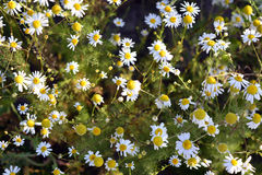 White camomile flowers on a sunny day. Stock Image