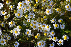 White camomile flowers on a sunny day. Royalty Free Stock Images