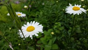 White camomile flowers. Stock Photography