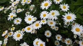 White camomile flowers. Royalty Free Stock Photography