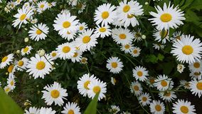 White camomile flowers. Royalty Free Stock Images