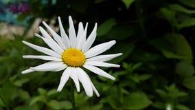 White camomile flowers. Stock Photos