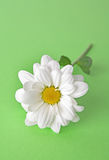 White camomile on green Stock Photography