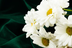 White camomile Stock Photos