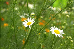 White camomile Royalty Free Stock Images